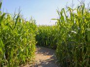 Maislabyrinth ab sofort geöffnet